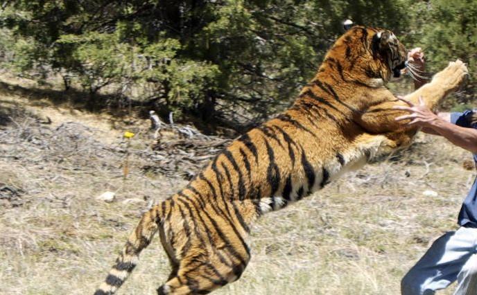 TIGER-ATTACK-